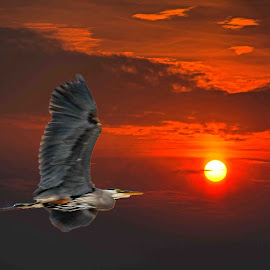 Great Blue in Flight by Will McNamee - Digital Art Animals ( dld3us@aol.com, gigart@aol.com, aundiram@msn.com, danielmcnamee@comcast.net, mcnamee2169@yahoo.com, ronmead179@comcast.net )