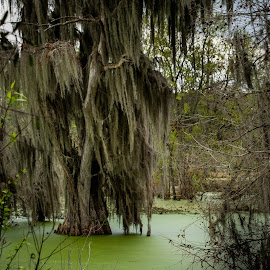 Swamp Tree by George Nichols - Nature Up Close Water ( water, tree, florida, moss, swamp )