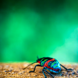 Colorful Beetle by Tobias Andersson - Animals Insects & Spiders ( macro, red, colorful, green, running, close up, beetle )