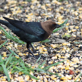 brown-headed cowbird by Rita Flohr - Novices Only Wildlife ( bird, brown-headed cowbird, cowbird, nature, feathers )