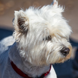 Westie by Dave Lipchen - Animals - Dogs Portraits ( westie )