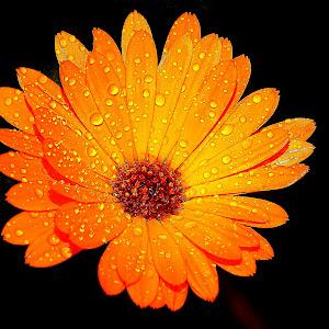 Scotch marigold.jpg