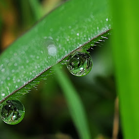 Drops by Ruben Dela Cruz - Nature Up Close Leaves & Grasses
