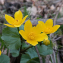 Kingcup,Marsh-marigold