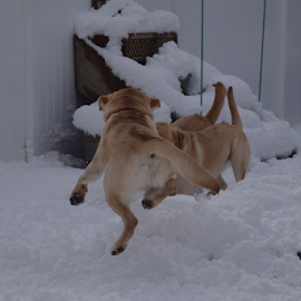 by Donna Sepe - Animals - Dogs Playing ( labrador retriever, labs, animals, labr, dog,  )