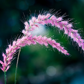Sweet by Tuan Pham - Nature Up Close Other plants ( macro, pink, 100mm, vietnam, canon )