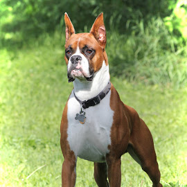 Intense by Lena Arkell - Animals - Dogs Portraits ( champion, boxer, male, canadian, fawn, dog )
