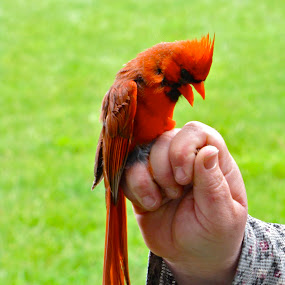 Cardinal Bites  by Emily Jones - Animals Birds ( hand, red, cardinal, hold, birds )