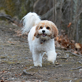 Cavachon walking by Steven Liffmann - Animals - Dogs Playing ( cavachone, walking, puppy, cute, dog )