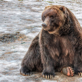 Teddy Bear by Patricia Phillips - Animals Other Mammals ( alaska wildlife bears grizzly )