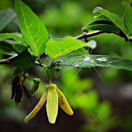 After the Rain by Prasanta Das - Nature Up Close Natural Waterdrops ( water, sparkling, drops, leaf, rain )