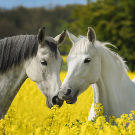 by Runa Nightsongwoods - Animals Horses ( field, free, rider )