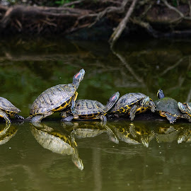 Warming Up on a Log by Judy Rosanno - Animals Reptiles ( water, reptiles, line, reflections, turtles, pond,  )