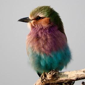 Bird by Rebecca Pollard - Animals Birds (  )