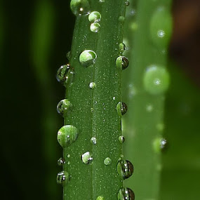 macro grass  by Zhenya Philip - Nature Up Close Leaves & Grasses ( green, nature, macro photography, earth, water droplets,  )