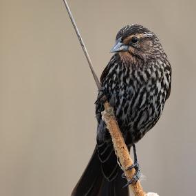 Blackbird Pose by Susan and Arwinder Nagi - Animals Birds ( bird images, redwinged blackbirds, bird photos, birds of ohio, bird profiles, bird scenes, birds of north america, blackbirds )