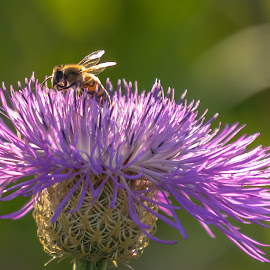 Purple Thistle Bee by Kathy Suttles - Nature Up Close Other Natural Objects