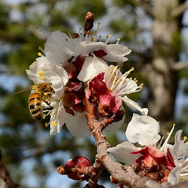 spring blossoms. by Denton Thaves - Animals Insects & Spiders ( spring flowers )