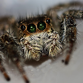 by Avi Chatterjee - Animals Insects & Spiders ( macro, jumper spider, spider, insect )