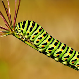 by Bencik Juraj - Animals Insects & Spiders ( caterpillar, insect, close up )