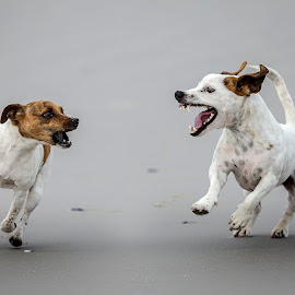 Sharing a joke by Joe Nieuwoudt - Animals - Dogs Running ( playing, jack russel, dogs, beach, running )