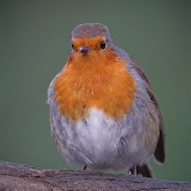 Robin by Bob Rawlinson - Animals Birds