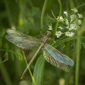 Green on Green by Pennye Thurmond - Animals Insects & Spiders ( dragonfly, white flower, green, wings, insect,  )