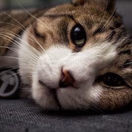 Lazy Saturday by Nick Kelleher - Animals - Cats Kittens ( aww, kitten, cat, canada, toronto, thor, dof, cute, bokeh, portrait )