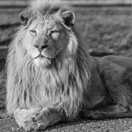 Lion by Garry Chisholm - Black & White Animals ( nature, mammal, big cat, lion, garry chisholm )