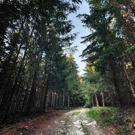 5918 by Zsolt Zsigmond - Landscapes Forests ( path, forest, light, nature, pine trees, trees )