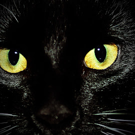 Black Cat by Lori O'Neil - Animals - Cats Portraits ( cat, spooky, black,  )