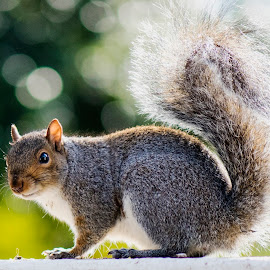 Squirrel by Deon Warrington - Animals Other ( animals, sun, squirrel )