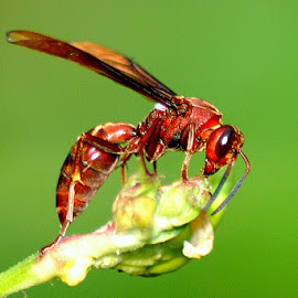 Tawon  by Wakhid Udin - Animals Insects & Spiders