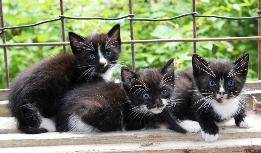 by Adriana Popescu - Animals - Cats Kittens ( pussy, cat, black, blue eyes )