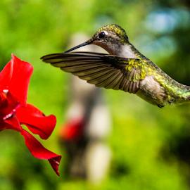 Hummingbird in spring by Brian Box - Animals Birds ( arkansas photographer, hummingbird, migratory birds, humming bird, arkansas )