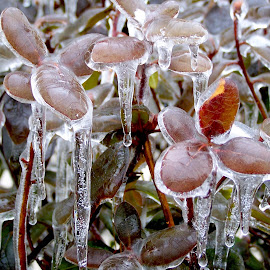 New Hampshire Ice Storm by Susan Englert - Nature Up Close Trees & Bushes ( cold, bushes, ice, snow, stems, storm, leaves )