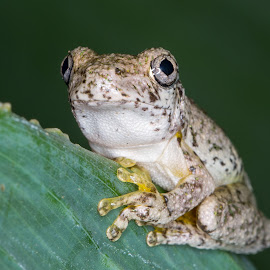 Emerald-spotted Tree Frog by Andrew Rock - Animals Amphibians ( laughing tree frog, hylidae, frog, maniacal cackle frog, litoria peronii, anura, tree frog, amphibian, amphibia, emerald-spotted tree frog, peron's tree frog, emerald-speckled tree frog )