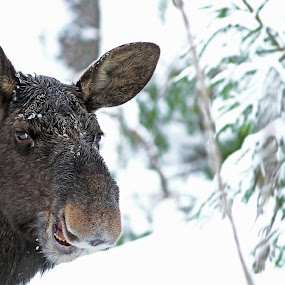 The Laughing Moose by Sami Rahkonen - Animals Other Mammals ( look, wild animal, mammals, fauna, flora, elk, moose, beautiful, funny, wildlife, forest, mammal, laughing, wilderness, winter )