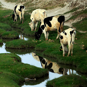 Cows and reflection by Cristobal Garciaferro Rubio - Animals Other