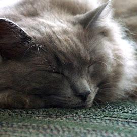 Sleeping kitty by Lynn Andrasko - Animals - Cats Portraits