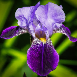 Purple Iris Digital by Dave Lipchen - Digital Art Things ( purple iris, digital )