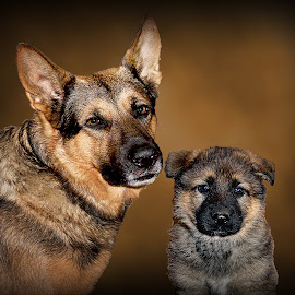Father and son by Dawn Vance - Digital Art Animals ( pet portrait, pet photography, pets, male, digital art, german shepherd dog, dog portrait, puppy, german shepherd, digital photography )