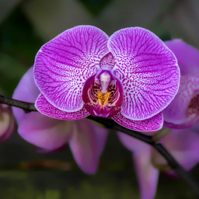 Orchid by Vibeke Friis - Flowers Flower Arangements ( purple, orchid, pot plant, flower,  )