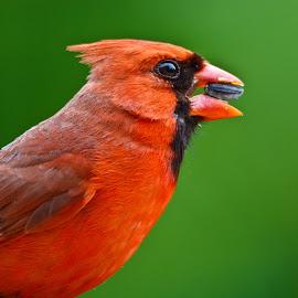 Cardinal - Portrait by Soumya Ranjan Kar - Animals Birds ( red cardinal, cardinal, cardinal (male), male-cardinal )