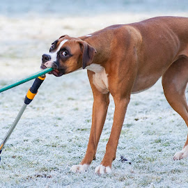 What Hose? by Evelyn Ford - Animals - Dogs Playing ( mischief, hose, boxer, frost, dog )