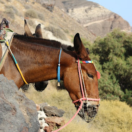 The Mule of Santorini by Davide Collura - Animals Horses ( mule, mulo )