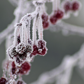 Frozen Berries by Tony Huffaker - Nature Up Close Trees & Bushes ( crystals, winter, tree, ice, frozen, berries )