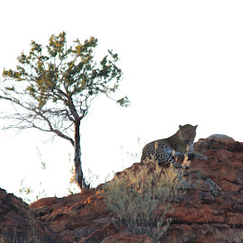 Leopard on a rock by Stefan Smit - Animals Lions, Tigers & Big Cats ( big cat, tree, wildlife, rock, leopard )