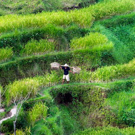 Rice fields by Diego Scaglione - People Street & Candids ( hill, green, indonesia, man, fields )