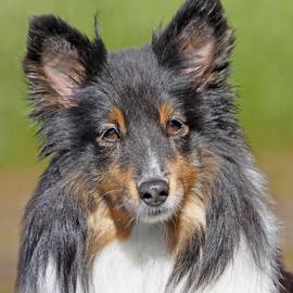 Sheltie beauty by Mia Ikonen - Animals - Dogs Portraits ( intelligent, gentle, shetland sheepdog, finland, cute )